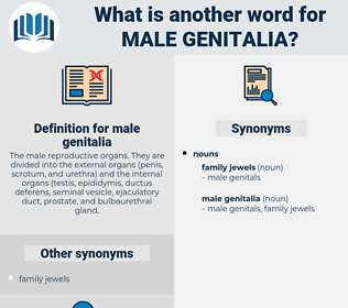 male genitalia, synonym male genitalia, another word for male genitalia, words like male genitalia, thesaurus male genitalia