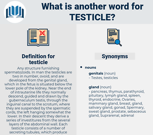 testicle, synonym testicle, another word for testicle, words like testicle, thesaurus testicle